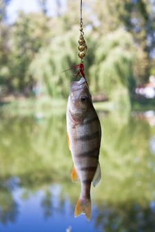 River Perch catching on spinning