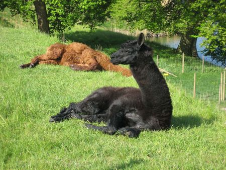 1 Resting Alpacas 1 Vilande Alpackor | Source | Author Lonezor | Date