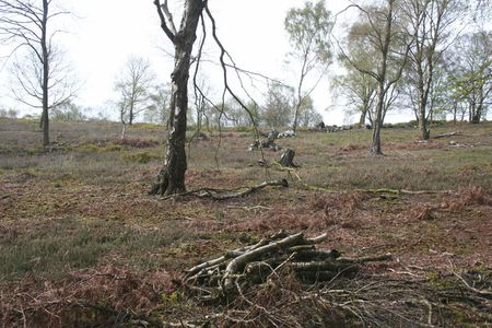 1 Tree felling for heathland regeneration at Bickerton Hill (SJ 496 52