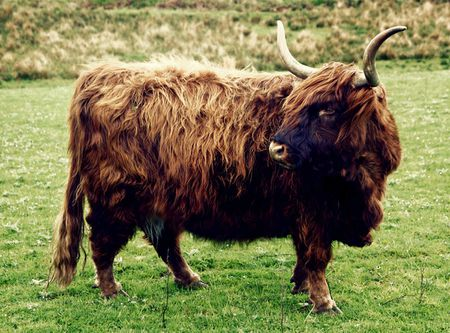 Highland Cattle, Isle of Islay, Schottland