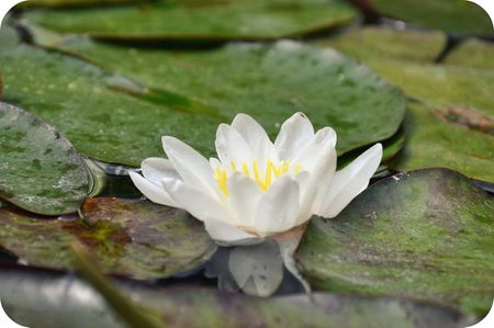 Lotus Flower at The Getty Villa 051410F