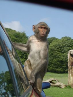 Monkey at Longleat Safari Park | Source http://www. flickr. com/photo