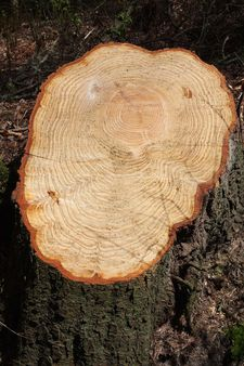 Tree rings from a felled tree with scallop effect tree trunk.