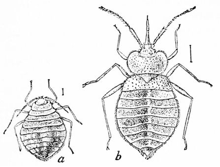 Bed bugs   Source http://www. archive. org/details/popularsciencemo37n