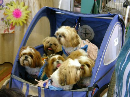 7 Shih Tzu in a Buggy