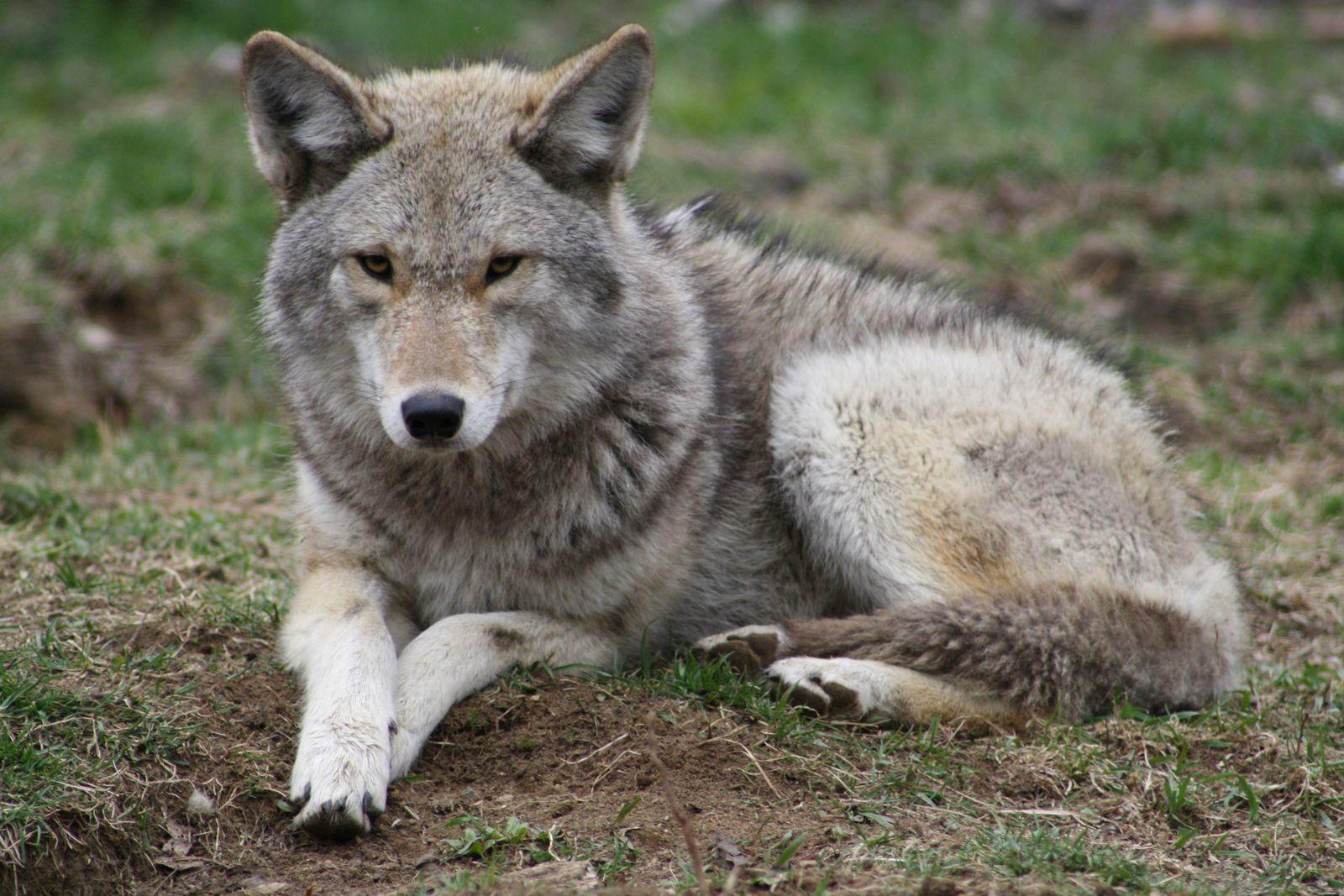 Les Loups Noirs - Echo Mondial - Les Loups Noirs A Télé Haiti