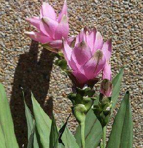 curcuma-alimatifolia