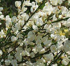Ginestra Cytisus Albus fiori bianchi