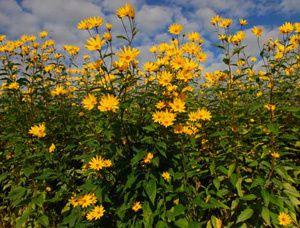 fioritura-topinambur