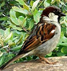 Sparrow-male