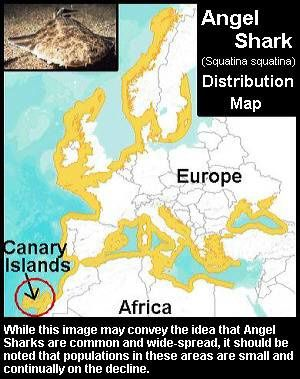 angel-shark-dist.jpg