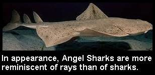 angel-shark.jpg
