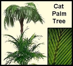 Cat palm trees require plenty of moisture earthdragon 39 s for Ponytail palm cats