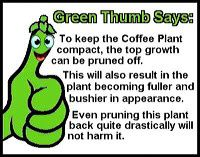 coffee-plant-gt