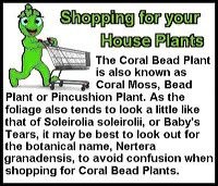 coral-bead-plant-st