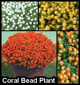 coral-bead-plant