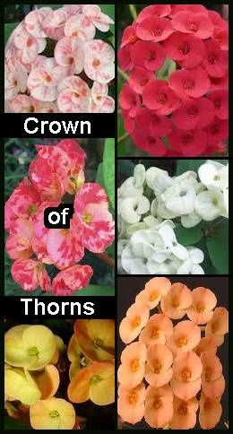 Crown Of Thorns Euphorbia Milii Poisonous House Plants Toxic