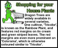 dragon-tree-st