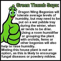 dragonwing-begonia-gt