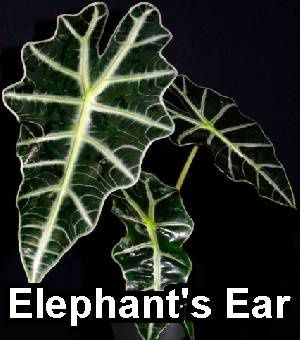 elephants-ear