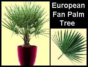 european-fan-palm