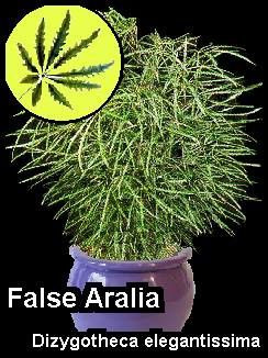 false-aralia