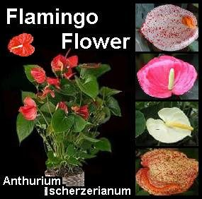 flamingo-flower