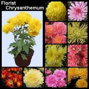 florist-chrysanthemum