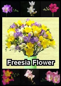 freesia-flower