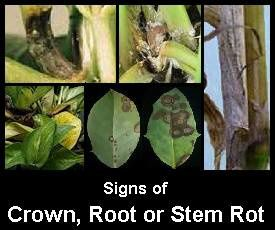 Album - Common Plant Pests and Diseases - Earthdragon's Endangered on house plant leaf blight, house plant insects, corn house plant rot, house plant scale, house plant fungus, house plant caterpillars, house plant mold, house plant nutrient deficiency, house plant virus, house plant snails, house plant leaf spots,
