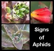 aphid-infestation