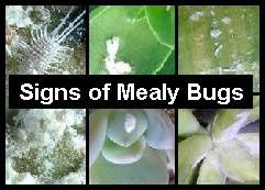 Mealy Bugs Look Like Small Patches Of Cotton Wool