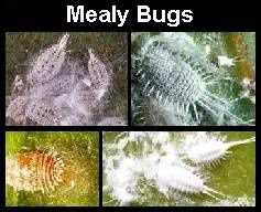 mealy-bugs