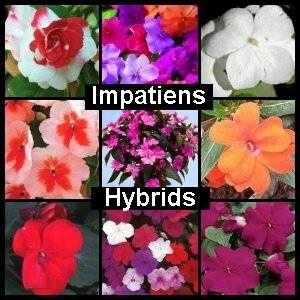 Impatiens Hybrids