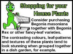 Iron Cross Begonia Shopping Tip