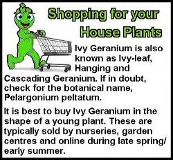 Ivy Geranium Buying Tip