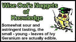 Ivy Geranium Fact