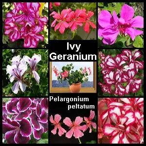 Image gallery ivy geraniums plants - How to care for ivy geranium ...