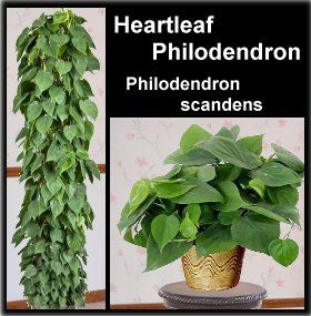 heartleaf-Philodendron