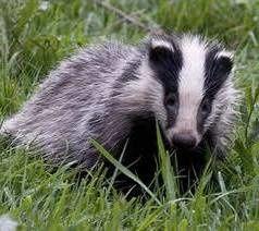 badger2.jpg