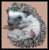 hedgehog-4