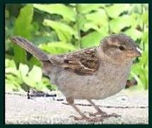 sparrow-female