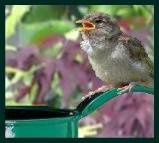 sparrow-fledgling