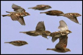 sparrows-in-flight.jpg