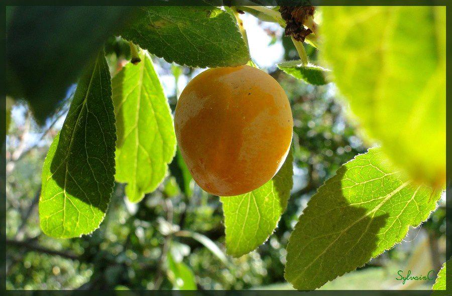54 : album - Fruits - Champignons - Légumes