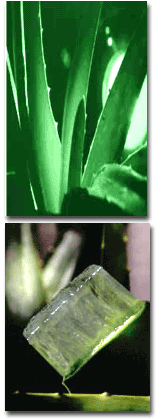 Plante_Aloes.png