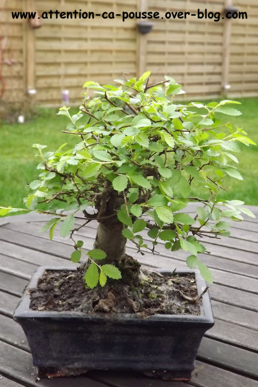 Bonsa orme de chine attention a pousse - Orme de chine bonsai ...