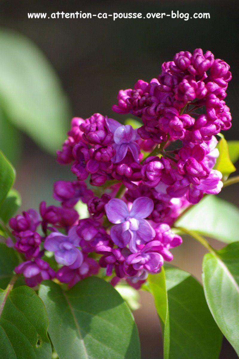 lilas (syringa vulgaris) - attention ça pousse !