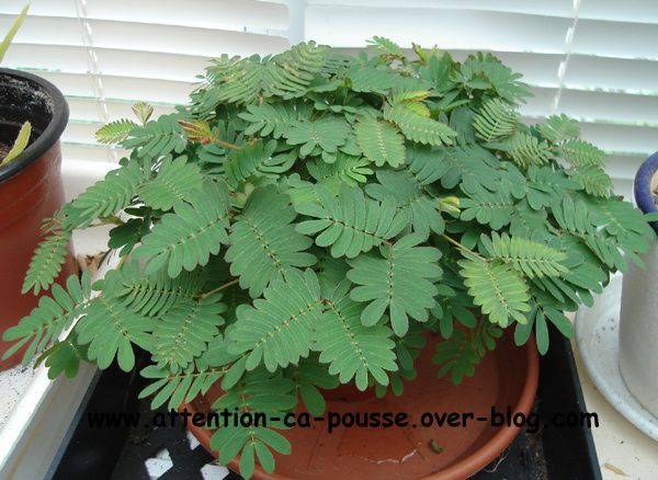 mimosa pudica attention a pousse. Black Bedroom Furniture Sets. Home Design Ideas