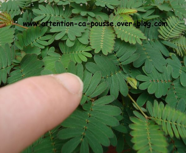 mimosa pudica attention a pousse